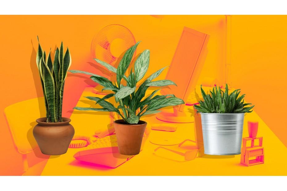 Офисные растения для повышения продуктивности