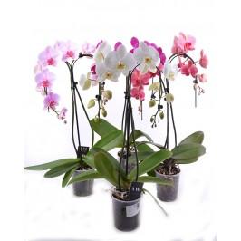 Орхидея фаленопсис 2 ствола Зонтик
