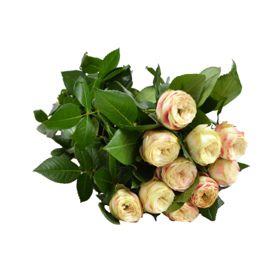 "Роза ""Latin Pompon"""