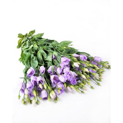 """Эустома """"Rosita Lavender"""""""