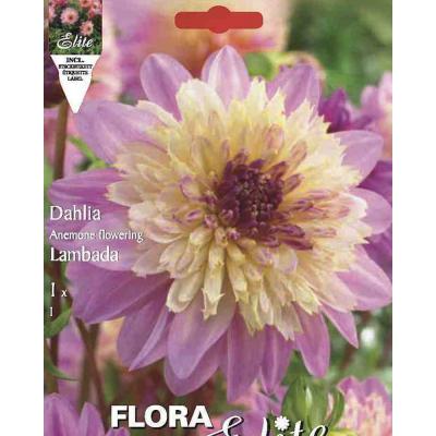 """Георгин """"Anemone Flowering Lambada"""""""