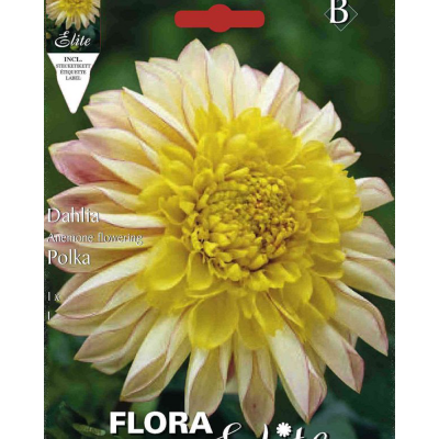 "Георгин ""Anemone Flowering Polka"""