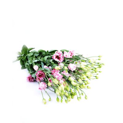 """Эустома """"Fleurel Pink"""""""