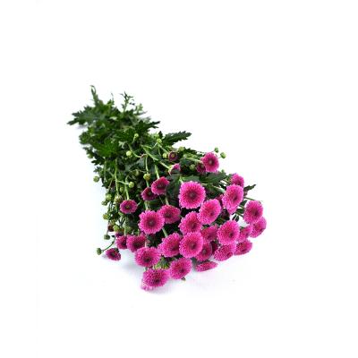 """Хризантема сантини """"Calimero Pink"""""""