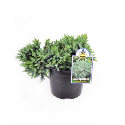 Можжевельник Juniperus squamata Blue Star