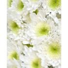 Цветы,  лучшие покупке - в интернет магазине Украфлора https://ukraflora.com.ua/radst-29226