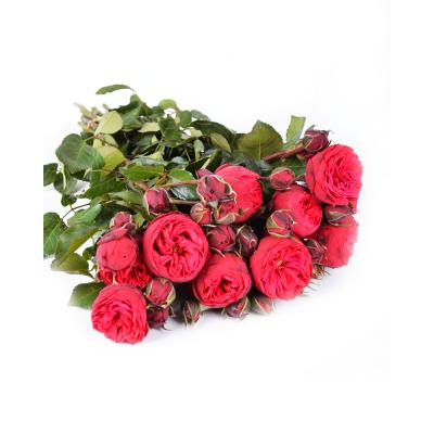 Роза-спрей  Piano Red