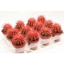 Кактус Echinogruson красный