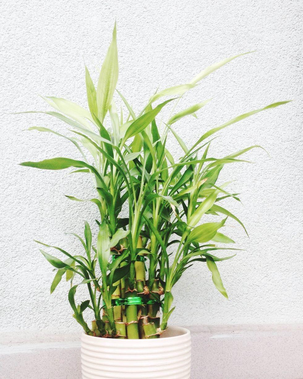 Офисные растения Бамбук