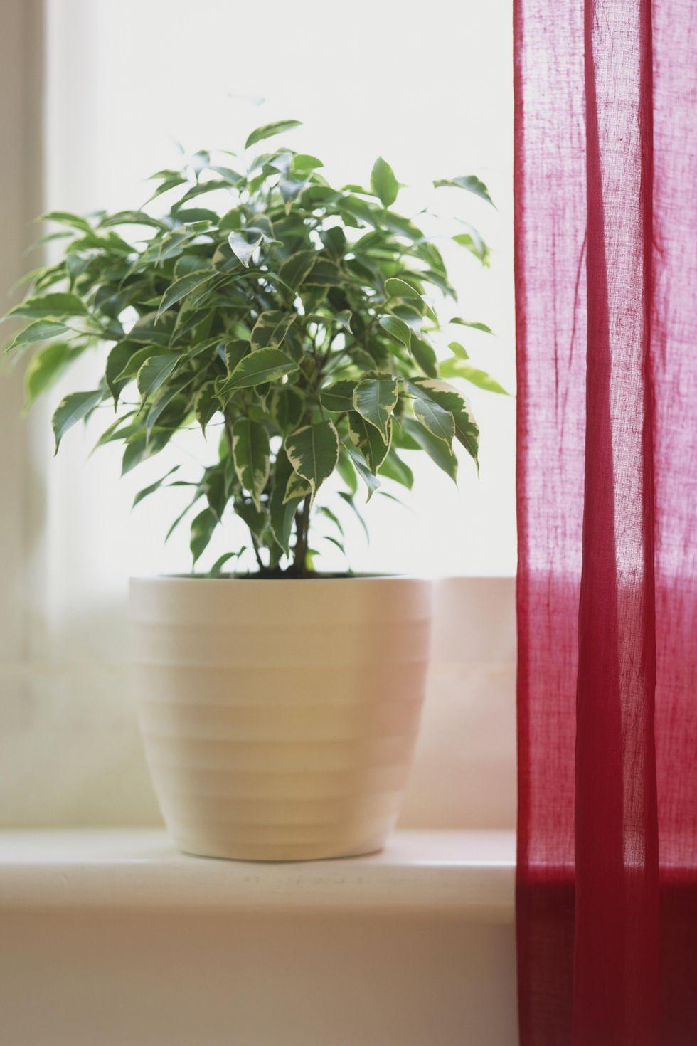 Офисные растения фикус