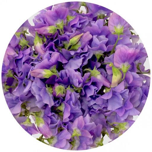 Латирус Фиолетовый