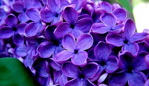 Квіти бузок