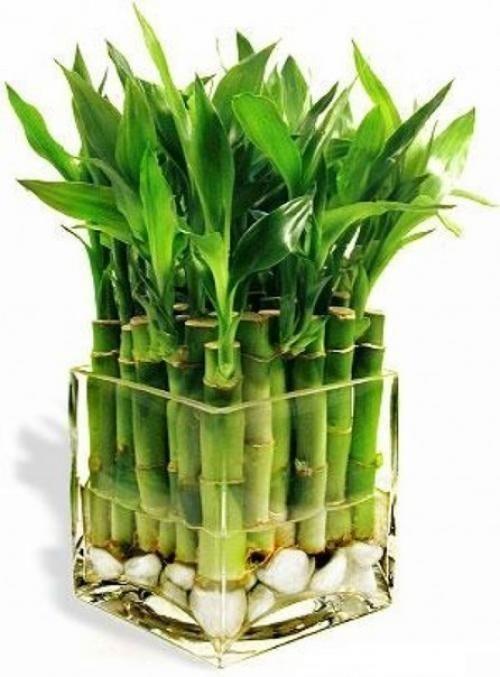 Купить счастливій бамбук в интернет магазине Украфлора. Доставка по Киеву и пригороду